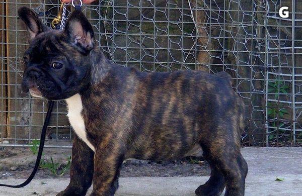 Renrasiga Fransk Bulldogg valpar