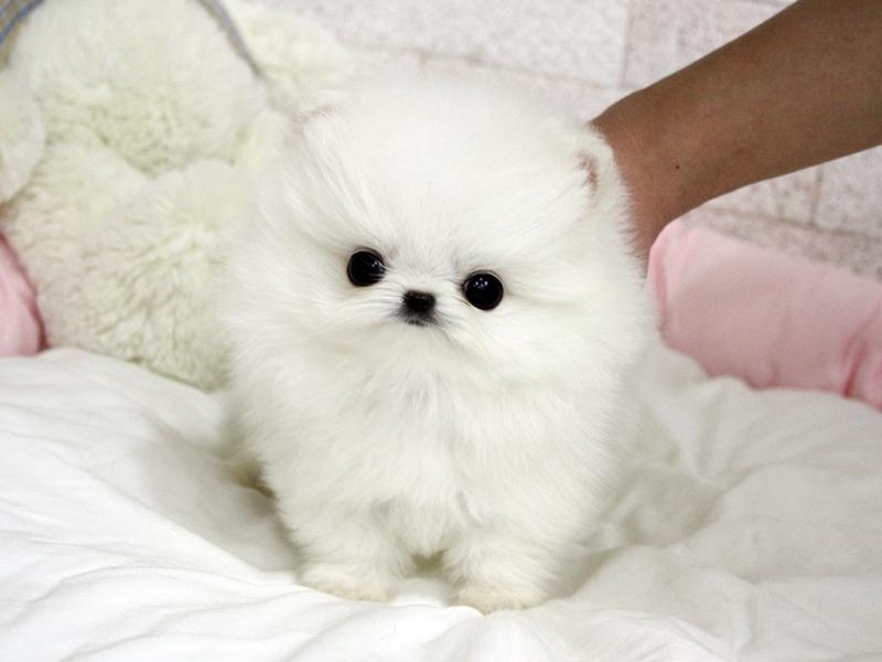 Vackra Pomeranian valp tillgängliga.