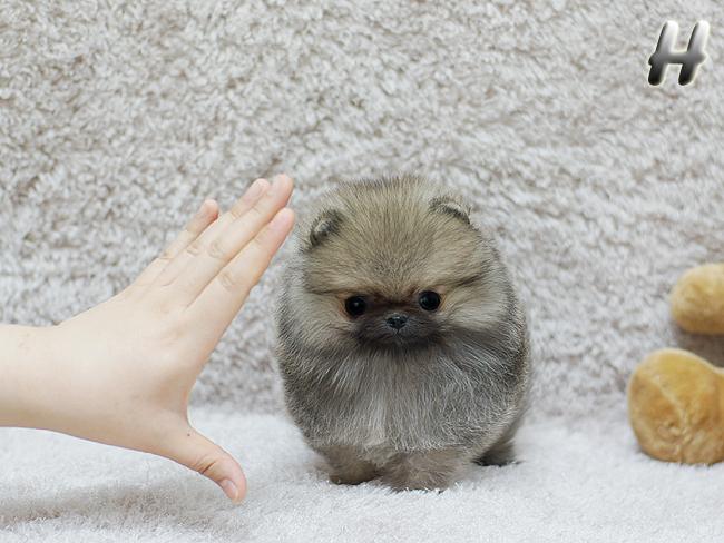 Lekfull og charmerende Pomeranian hvalpe til rådighed