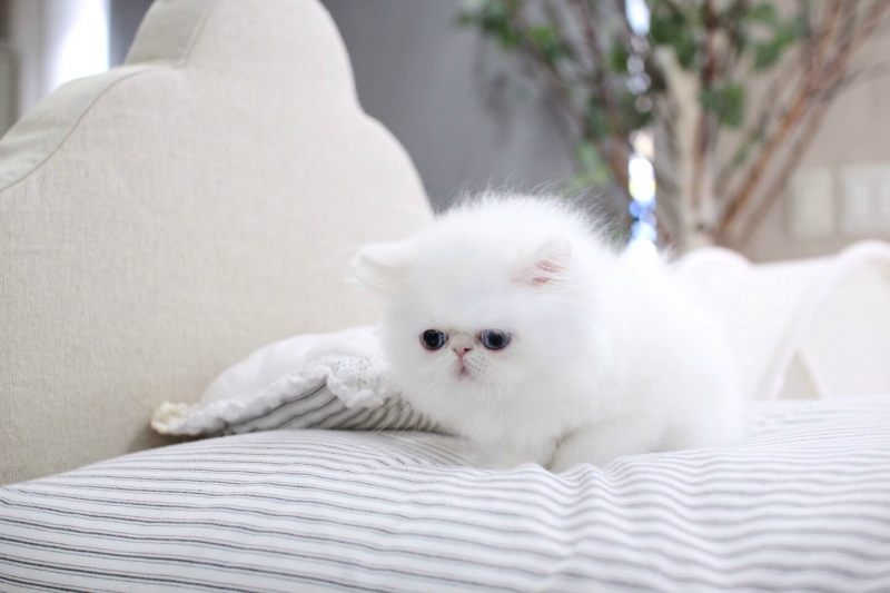 Vackra vita kvinnliga Persiska kattunge tillgängliga!