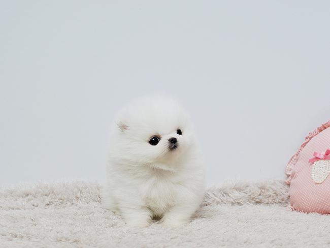 Kvinnlig Pomeranian valp
